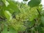 Weinblüte