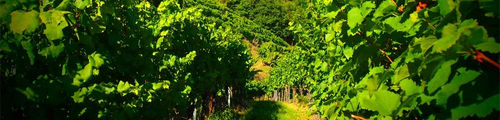 Weingartenzeile Kaiserberg Weingut Pomaßl